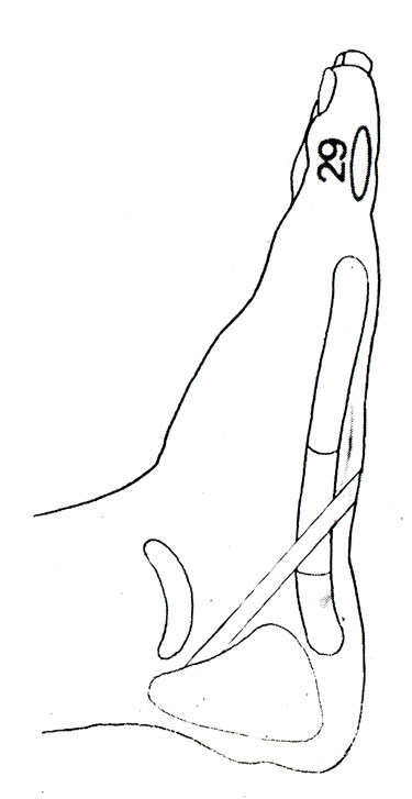 Рефлекторная зона <strong>руками</strong> на стопе: шейный отдел позвоночника (29), обрабатывать обе стопы