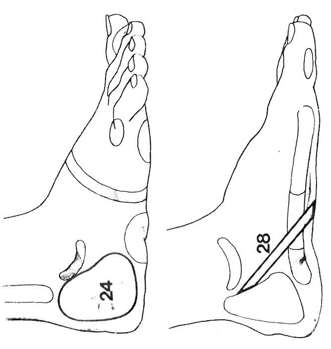 Рефлекторные зоны на стопе: мошонка (24), половой член (28)