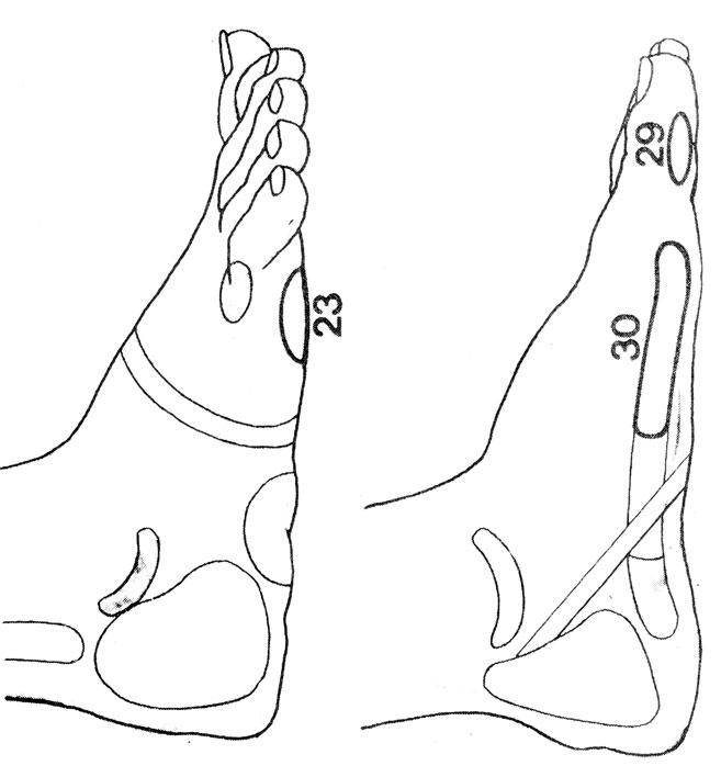 Рефлекторные зоны на стопе: лопатка (23), шейный отдел позвоночника (29), грудной отдел позвоночника (30)