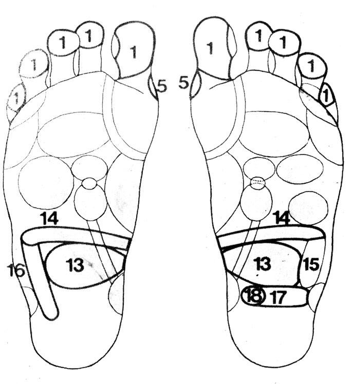 Рефлекторные зоны на стопе: желудочно-кишечный тракт (13, 14, 15, 16, 17, 18), голова (1), паращитовидные железы (5)