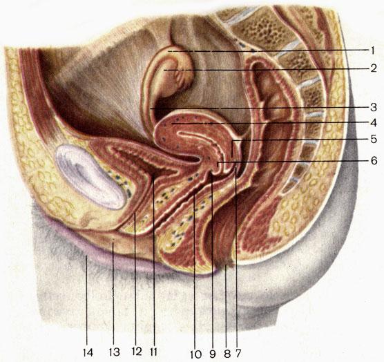 Член во влагалище анатомический разрез