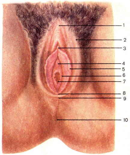 фото половые органы женщины
